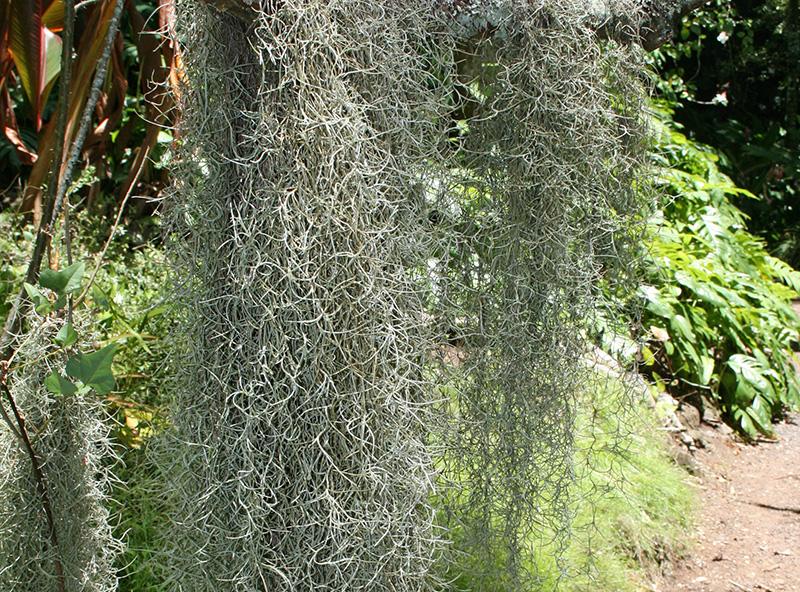 spanish moss